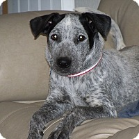 Adopt A Pet :: Daisy - Apache Junction, AZ