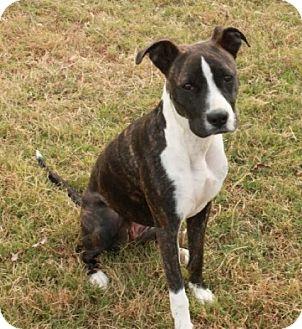 Boxer Mix Puppy for adoption in Washington, D.C. - Annie