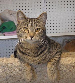 Domestic Shorthair Cat for adoption in Quail Valley, California - Degas