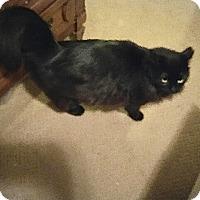 Adopt A Pet :: Midnight - Fowlerville, MI