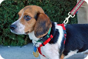 Beagle Dog for adoption in Waldorf, Maryland - Cora Amelia