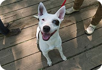 Australian Shepherd/Bull Terrier Mix Dog for adoption in Hamilton, Ontario - Tikco