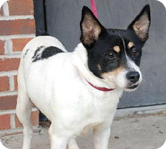 Jack Russell Terrier Mix Dog for adoption in Columbia, Tennessee - Johnny Cash