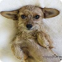 Adopt A Pet :: Ireland - Phoenix, AZ