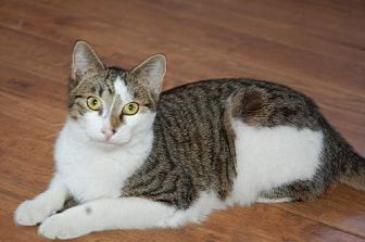Domestic Shorthair Cat for adoption in Alpharetta, Georgia - Tippy