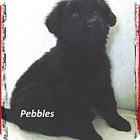 Adopt A Pet :: Pebbles - Marlborough, MA