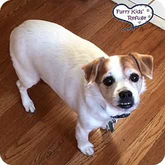 Jack Russell Terrier Mix Dog for adoption in Lee's Summit, Missouri - Mr. Milner