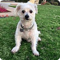 Adopt A Pet :: Chance - Redondo Beach, CA