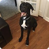 Adopt A Pet :: Bentley - O'Fallon, MO