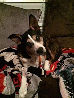 Australian Kelpie/Shepherd (Unknown Type) Mix Dog for adoption in Alpharetta, Georgia - SweetBaby