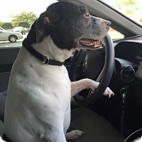 Adopt A Pet :: Abby - Holmes Beach, FL
