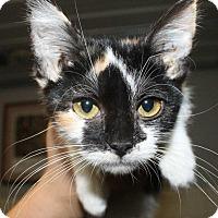 Calico Kitten for adoption in Fort Madison, Iowa - Nessa