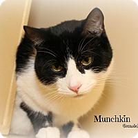 Adopt A Pet :: Munchkin - Glen Mills, PA