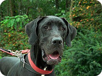 Great Dane Dog for adoption in Manassas, Virginia - Pandora