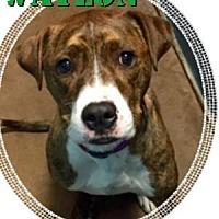 Adopt A Pet :: Waylon (Max) - Woodinville, WA