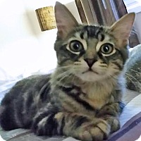 Domestic Shorthair Cat for adoption in Mississauga, Ontario, Ontario - Chase