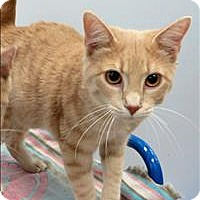 Domestic Shorthair Cat for adoption in Indiana, Pennsylvania - Ernie
