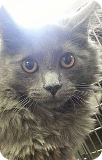 Domestic Mediumhair Kitten for adoption in Eureka, California - Rune