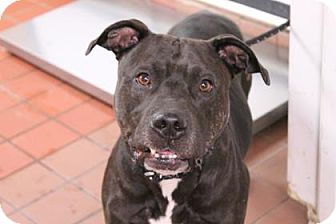 American Staffordshire Terrier/Terrier (Unknown Type, Medium) Mix Dog for adoption in Daytona Beach, Florida - Coco Puffs