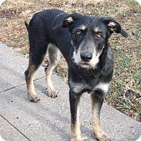 German Shepherd Dog/Mixed Breed (Large) Mix Dog for adoption in Kansas city, Missouri - Zoie