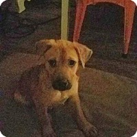 Black Mouth Cur Mix Puppy for adoption in Spring, Texas - Zoey