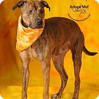 Pit Bull Terrier Mix Dog for adoption in Topeka, Kansas - Cruise