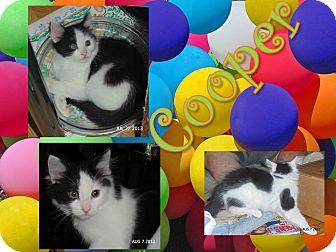 Domestic Shorthair Kitten for adoption in Washington, D.C. - Cooper