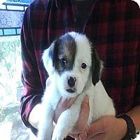 Adopt A Pet :: Marcella - Hop Bottom, PA