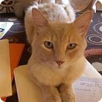 Adopt A Pet :: Gattino - Sacramento, CA