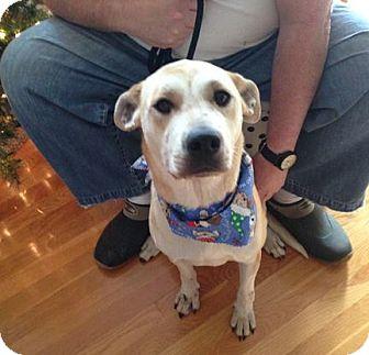 Labrador Retriever/Hound (Unknown Type) Mix Dog for adoption in Nixa, Missouri - Ellie #493 AKA Gracie
