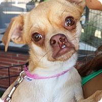 Adopt A Pet :: Bella - Encino, CA