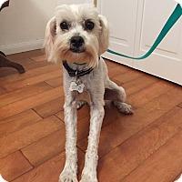 Adopt A Pet :: Ziggy (AKA Ms. Ziggy) - Redondo Beach, CA