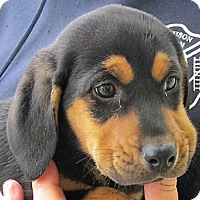 Adopt A Pet :: Quenton - Germantown, MD