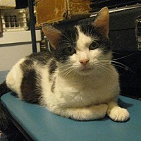 Domestic Shorthair Cat for adoption in Columbus, Ohio - Posie
