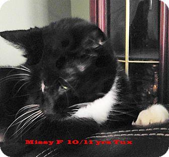 Domestic Shorthair Cat for adoption in Brandon, Florida - Missy