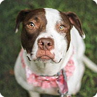 Pit Bull Terrier Mix Dog for adoption in Arlington, Texas - Venus