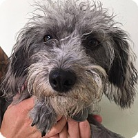 Poodle (Miniature) Mix Dog for adoption in Eugene, Oregon - Alyssa