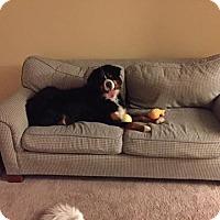 Bernese Mountain Dog Dog for adoption in morrisville, Pennsylvania - Bron