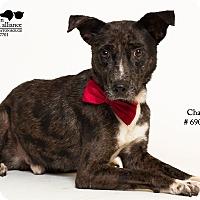 Adopt A Pet :: Chase - Baton Rouge, LA