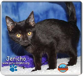 Domestic Shorthair Kitten for adoption in South Bend, Indiana - Jericho