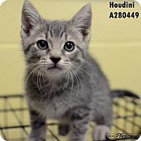 Adopt A Pet :: HOUDINI - Conroe, TX