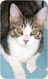 American Shorthair Kitten for adoption in New York, New York - Baby Buddy
