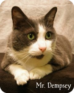 Domestic Shorthair Cat for adoption in Warren, Pennsylvania - Mr. Dempsey