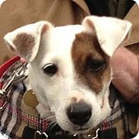 Adopt A Pet :: Foxy - Rhinebeck, NY