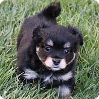 Adopt A Pet :: Inky - La Habra Heights, CA