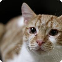 Adopt A Pet :: Dreamsicle - Richmond, VA