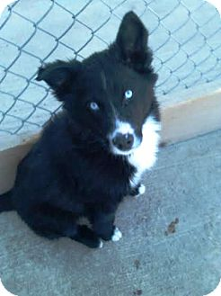Husky Border Collie Mix Puppies Border Collie/H...