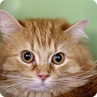 Adopt A Pet :: Dandy Lion - Chicago, IL