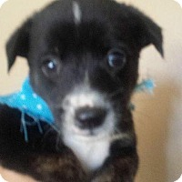Adopt A Pet :: Dorothy's Pup 6 - Las Vegas, NV