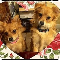 Adopt A Pet :: Foxie and Midgie Bonded - Rancho Cucamonga, CA